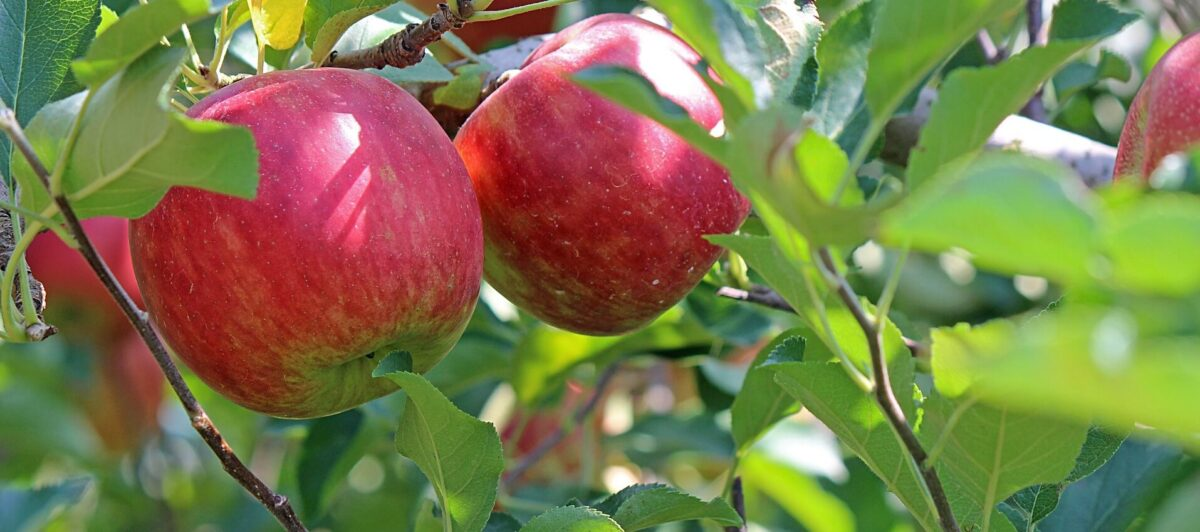 red apple in a tree to symbolise nurture